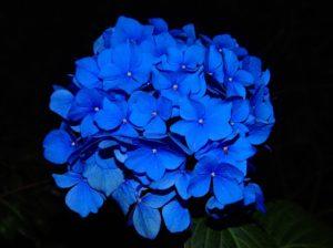 Kék hortenzia